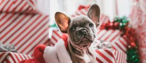 christmas french bulldog